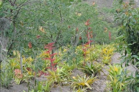 Flowering bromeliads with tannin trees and avocados