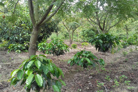 Agroforestry system with coffe shaded by tannin and avocado trees