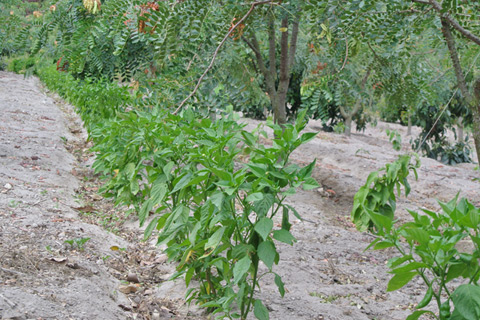 Agrobiodiversity. Chili pepper, passion fruits and tannin trees