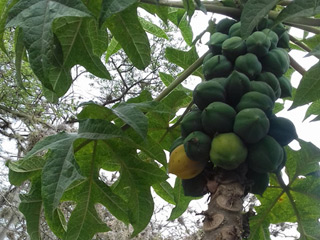 Mountain papaya or chamburo (Vasconcellea pubescens). Used to prepare juices and to soften meats